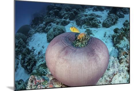 Pink Anemonefish Swim Close to their Host Anemone-Stocktrek Images-Mounted Photographic Print