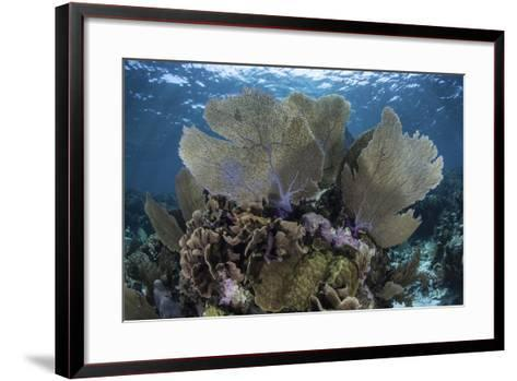 Gorgonians Grow in Shallow Water Off Turneffe Atoll in Belize-Stocktrek Images-Framed Art Print