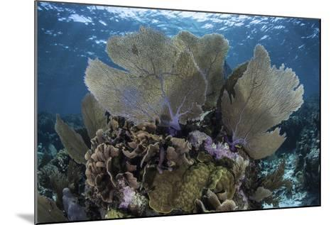 Gorgonians Grow in Shallow Water Off Turneffe Atoll in Belize-Stocktrek Images-Mounted Photographic Print
