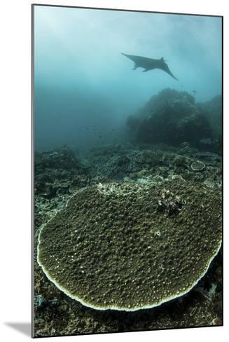 A Manta Ray Swimming Through a Current-Swept Channel in Indonesia-Stocktrek Images-Mounted Photographic Print