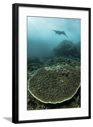 A Manta Ray Swimming Through a Current-Swept Channel in Indonesia-Stocktrek Images-Framed Art Print