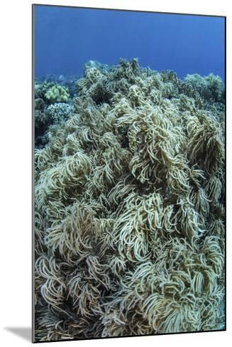 Colonies of Soft Coral Thrive on a Reef Near Sulawesi, Indonesia-Stocktrek Images-Mounted Photographic Print