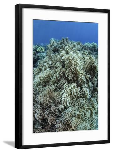 Colonies of Soft Coral Thrive on a Reef Near Sulawesi, Indonesia-Stocktrek Images-Framed Art Print