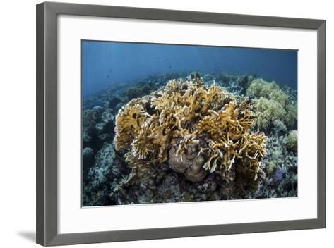 A Colony of Fire Coral Grows Near Alor, Indonesia-Stocktrek Images-Framed Art Print