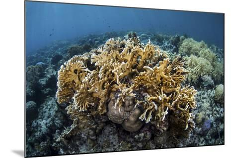A Colony of Fire Coral Grows Near Alor, Indonesia-Stocktrek Images-Mounted Photographic Print