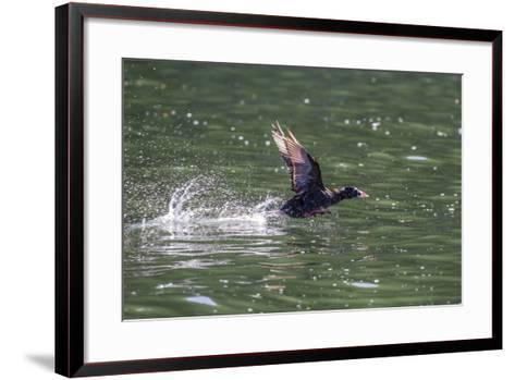 Adult Male Surf Scoter (Melanitta Perspicillata) Taking Flight in Williams Cove, Southeast Alaska-Michael Nolan-Framed Art Print