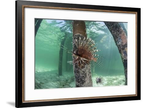 A Lionfish Swims Beneath a Pier Off the Coast of Belize-Stocktrek Images-Framed Art Print