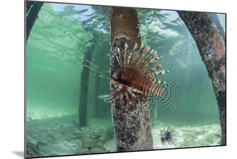 A Lionfish Swims Beneath a Pier Off the Coast of Belize-Stocktrek Images-Mounted Photographic Print
