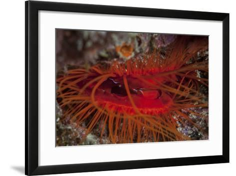 A Disco Clam on a Reef Near the Island of Sulawesi, Indonesia-Stocktrek Images-Framed Art Print