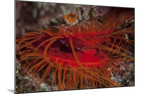 A Disco Clam on a Reef Near the Island of Sulawesi, Indonesia-Stocktrek Images-Mounted Photographic Print