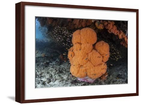 A Soft Coral Colony Grows in a Current-Swept Channel of Raja Ampat, Indonesia-Stocktrek Images-Framed Art Print
