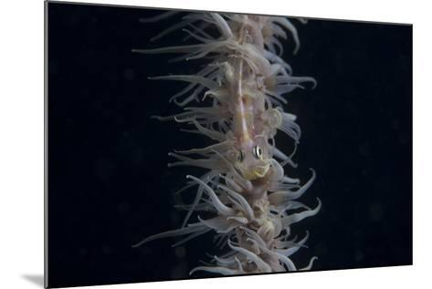 Whip Coral Goby, Fiji-Stocktrek Images-Mounted Photographic Print