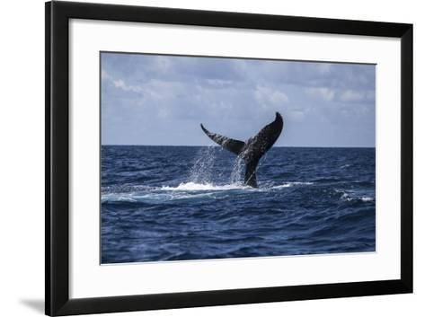 A Humpback Whale Slaps its Tail on the Surface of the Atlantic Ocean-Stocktrek Images-Framed Art Print