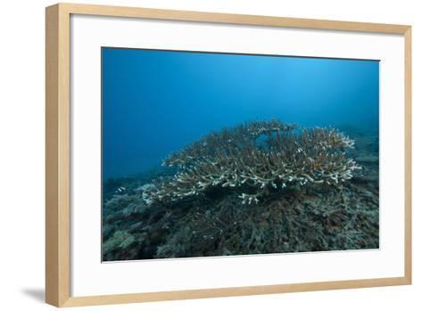 Stony Corals in Beqa Lagoon, Fiji-Stocktrek Images-Framed Art Print