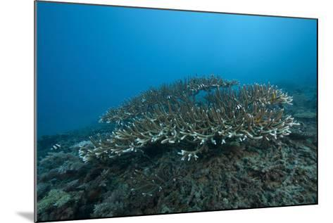 Stony Corals in Beqa Lagoon, Fiji-Stocktrek Images-Mounted Photographic Print