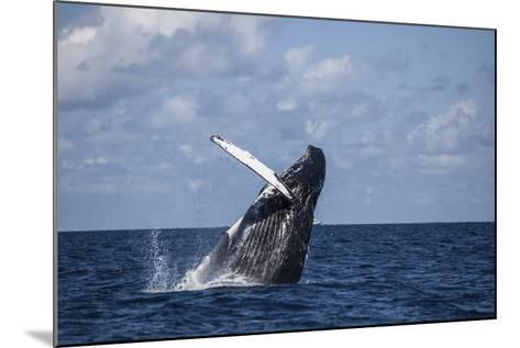 A Large Humpback Whale Breaches Out of the Atlantic Ocean-Stocktrek Images-Mounted Photographic Print
