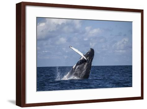 A Large Humpback Whale Breaches Out of the Atlantic Ocean-Stocktrek Images-Framed Art Print