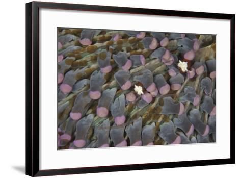 A Pair of Mushroom Coral Shrimp on Pink Mushroom Coral-Stocktrek Images-Framed Art Print