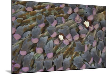 A Pair of Mushroom Coral Shrimp on Pink Mushroom Coral-Stocktrek Images-Mounted Photographic Print