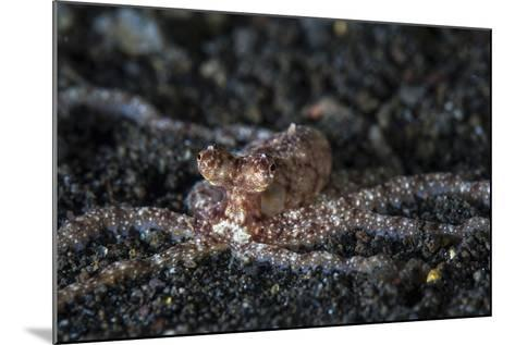 An Unidentified Octopus on a Black Sand Seafloor-Stocktrek Images-Mounted Photographic Print