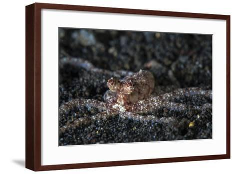 An Unidentified Octopus on a Black Sand Seafloor-Stocktrek Images-Framed Art Print
