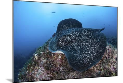 A Large Black-Blotched Stingray Swims over the Rocky Seafloor-Stocktrek Images-Mounted Photographic Print