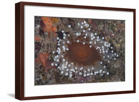 Sea Anenome in the Beqa Lagoon Reef, Fiji-Stocktrek Images-Framed Art Print