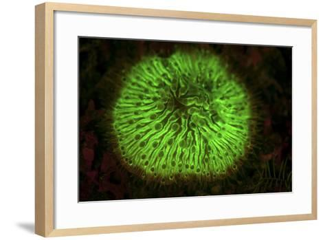 A Mushroom Coral Fluoresces as Uv Light Is Shown Upon It-Stocktrek Images-Framed Art Print