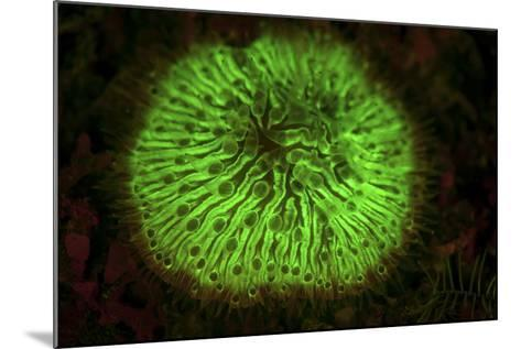 A Mushroom Coral Fluoresces as Uv Light Is Shown Upon It-Stocktrek Images-Mounted Photographic Print
