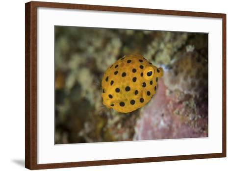 A Juvenile Yellow Boxfish Swims Above the Seafloor-Stocktrek Images-Framed Art Print