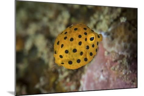 A Juvenile Yellow Boxfish Swims Above the Seafloor-Stocktrek Images-Mounted Photographic Print
