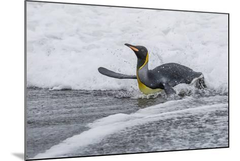 Adult King Penguin (Aptenodytes Patagonicus) Returning from Sea at St. Andrews Bay, Polar Regions-Michael Nolan-Mounted Photographic Print