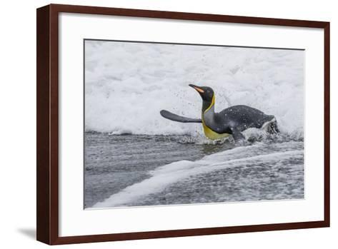 Adult King Penguin (Aptenodytes Patagonicus) Returning from Sea at St. Andrews Bay, Polar Regions-Michael Nolan-Framed Art Print