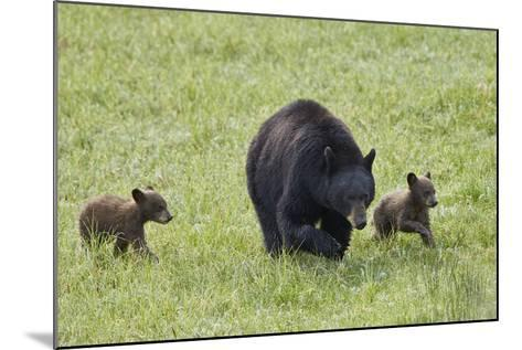 Black Bear (Ursus Americanus) Sow and Two Chocolate Cubs of the Year or Spring Cubs, Wyoming-James Hager-Mounted Photographic Print
