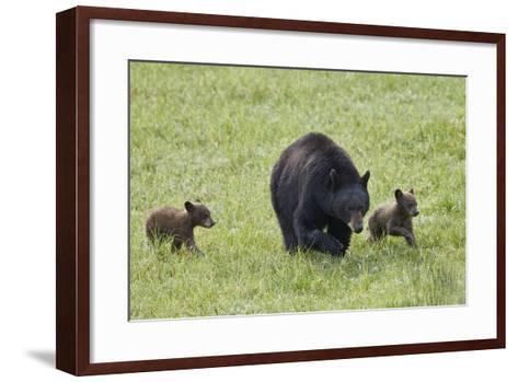 Black Bear (Ursus Americanus) Sow and Two Chocolate Cubs of the Year or Spring Cubs, Wyoming-James Hager-Framed Art Print