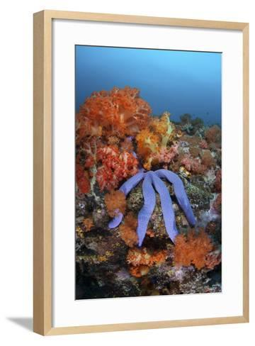 A Beautiful Starfish Lays on a Thriving Reef in Indonesia-Stocktrek Images-Framed Art Print