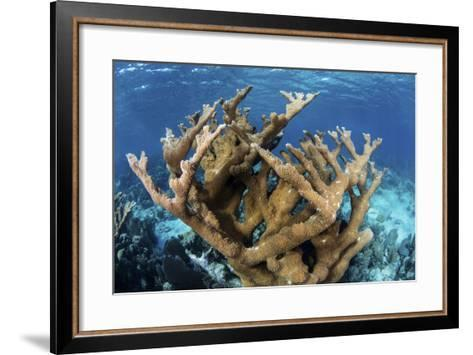 Elkhorn Coral Grows on a Healthy Reef in the Caribbean Sea-Stocktrek Images-Framed Art Print