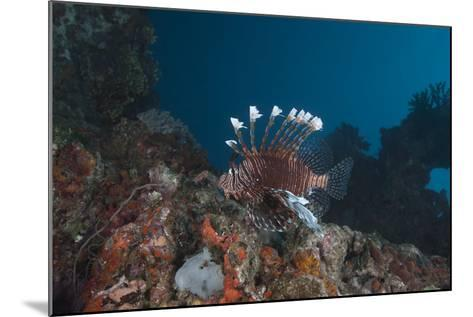 A Large Common Lionfish Swimming at Beqa Lagoon, Fiji-Stocktrek Images-Mounted Photographic Print