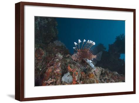 A Large Common Lionfish Swimming at Beqa Lagoon, Fiji-Stocktrek Images-Framed Art Print