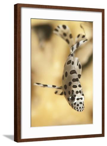 A Juvenile Barramundi Grouper-Stocktrek Images-Framed Art Print