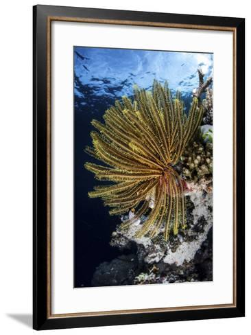 A Colorful Crinoid Clings to a Reef Dropoff in Raja Ampat-Stocktrek Images-Framed Art Print