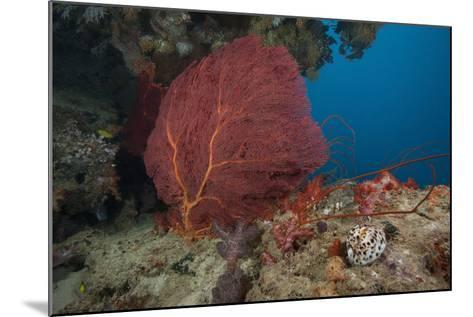A Large Red Gorgonian Sea Fan and Tiger Cowrie in Waters Off Fiji-Stocktrek Images-Mounted Photographic Print