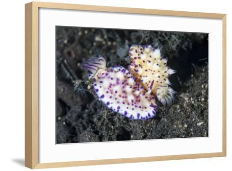 A Pair of Mexichromis Nudibranch Circle Each Other Trying to Mate-Stocktrek Images-Framed Art Print