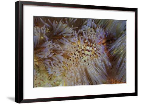 A Pair of Coleman's Shrimp Live Among the Venomous Spines of a Fire Urchin-Stocktrek Images-Framed Art Print