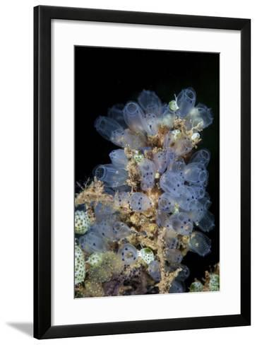 Colorful Tunicates Grow on a Reef in Indonesia-Stocktrek Images-Framed Art Print