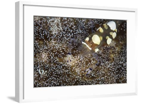 A Peacock-Tail Anemone Shrimp Sits on a Host Anemone-Stocktrek Images-Framed Art Print