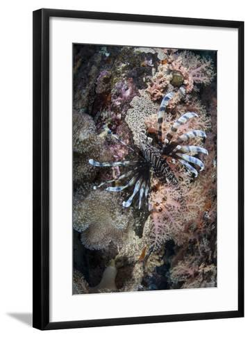 A Lionfish Swims on a Colorful Reef in the Solomon Islands-Stocktrek Images-Framed Art Print