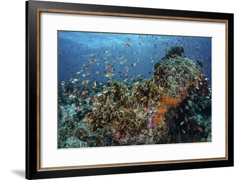 Colorful Anthias Swim Above Corals in Komodo National Park, Indonesia-Stocktrek Images-Framed Art Print