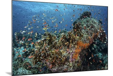 Colorful Anthias Swim Above Corals in Komodo National Park, Indonesia-Stocktrek Images-Mounted Photographic Print