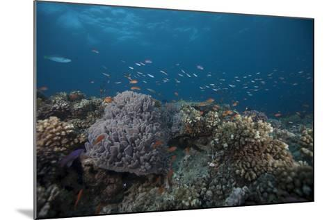 Schooling Anthias Fish and Healthy Corals of Beqa Lagoon, Fiji-Stocktrek Images-Mounted Photographic Print